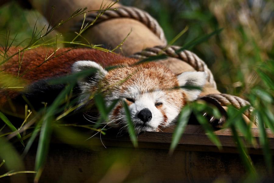 Rode panda de Jardin des Plantes Dierentuin